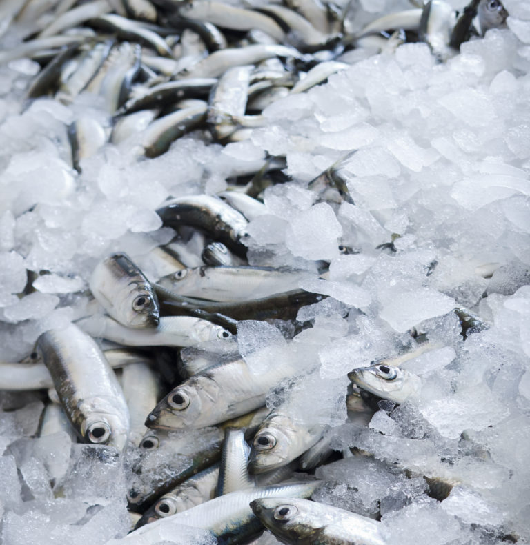Fresh Baltic Herring covered with ice.